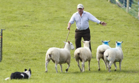Sheep Dog Trial Demonstrations