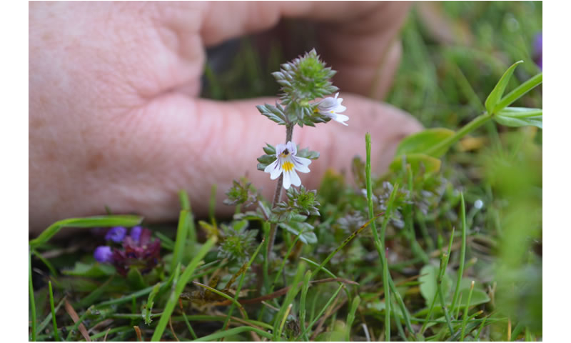 euphrasia-officinalis.eyebright-2
