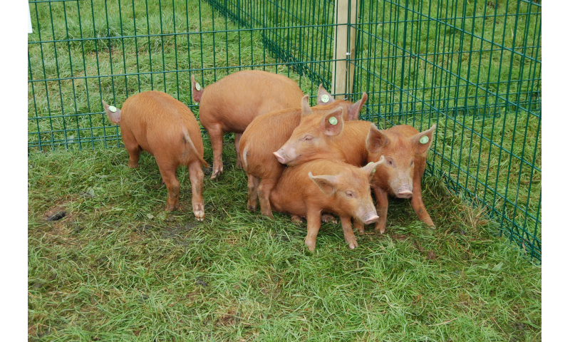 rare-breed-tamworth-pig