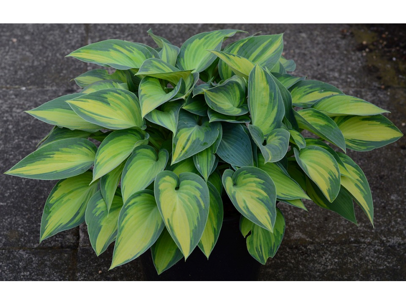 plantain-lily-1579042-960-720