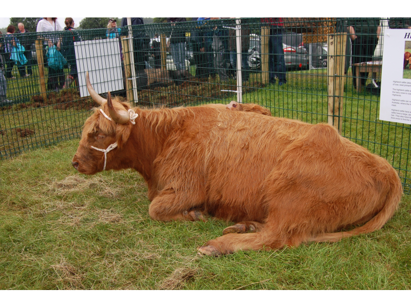 rare-breed-highland-cattle-2012