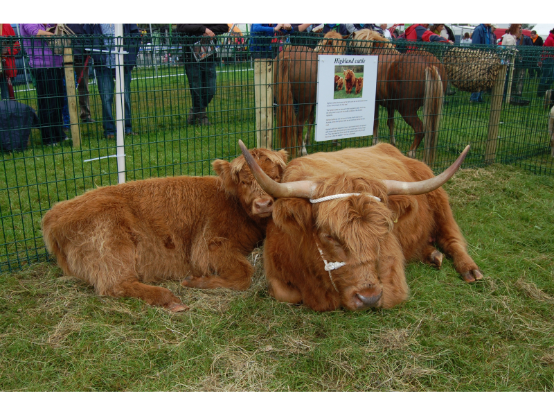 rare-breeds-highland-cattle-2012