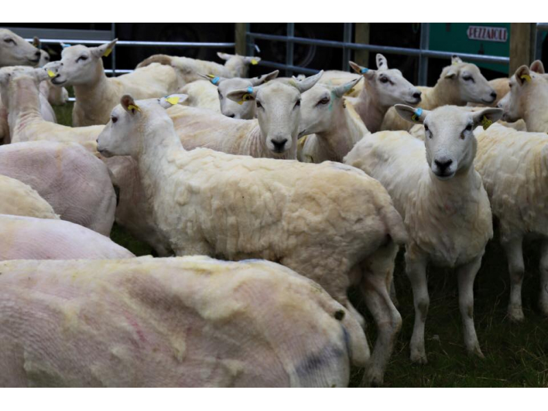 sheared-sheep