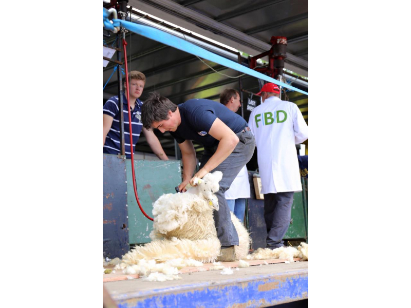 sheep-shearing-3